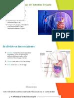 anatomia e histología intestino delgado y grueso