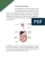 aparato digestivo del hombre