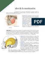 Musculos de la masticación.docx