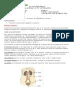 Grado 3 Ciencias Naturales Guía  5 El sistema Urinario