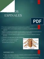 NERVIOS ESPINALES- plexos