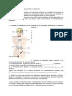 Actividad nº15_ Sistema Endócrino