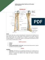 anatomia antebrazo
