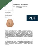 Cerebro I ANATOMIA