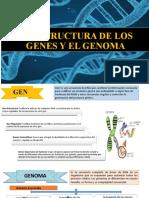 LA ESTRUCTURA DE LOS GENES Y EL GENOMA
