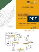 CICLO DE LA UREA.pptx