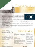 British-Shorthair2