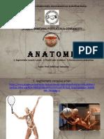 Anatomie curs 2