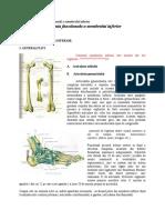 Anatomia functionala a membrului inferior