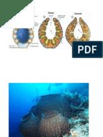 imagem de poriferos
