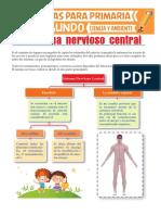 Sistema-Nervioso-Central-para-Segundo-de-Primaria