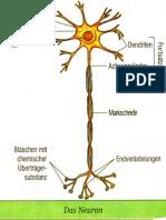 14. Das Neuron.pdf