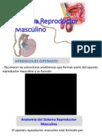 Sistema-Reproductor-Masculino