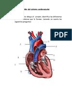 Taller-Del-Sistema-Cardiovascular