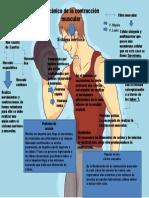 mecanica de la contraccion muscular T2 Nestor Andres Cortes