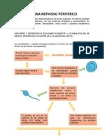 SISTEMA NERVIOSO PERIFÈRICO.pdf