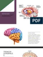 Actividad 10, infografia evolucion del cerebro humano