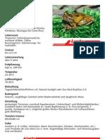 Honduras Laubfrosch