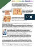 El desarrollo sexual en humanos.pdf