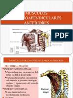 MUSCULOS TORACOAPENDICULARES ANTERIORES