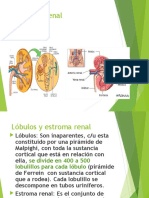 1. anatomía histología y embriología renal.ppt