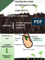 5.RAIZ MORFO y ANATOMIA (1).pdf