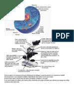 Refueroz Jhon- Ciencias Naturales- Microscopio