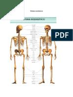 Anatomía 3.docx