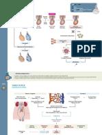 JLSM - Fisiopatología - Torsión Testicular + Varicocele.pptx