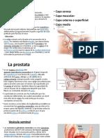 Vejiga urinaria masculina diapositiva anatomia 2.pptx