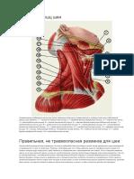Анатомия мышц шеи