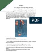 Copia de Uréteres, vejiga y uretra (1)