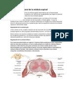 Anatomía seccional de la médula espinal.docx