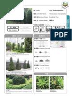 24_Podocarpus_macrophyllus