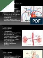 5_3 CARDIOCIRCULATORIO  ARTERIAS-1 (1)
