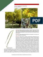Parkinsonia aculeata_septiembre.pdf