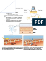 Action Potentials and Synapses Handouts