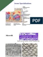 Membrane_Specializations
