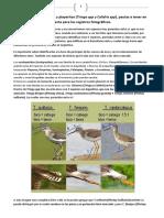 identificacion de Tringa spp y Calidris spp y fotos PHC 2018 1