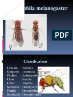 D.melanogaster