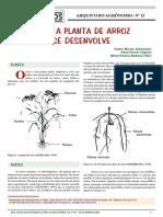 desenvolvimento da PLANTA DE ARROZ