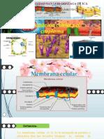 la membrana celular y el citoplasma