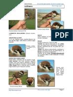 Gorrion molinero.pdf