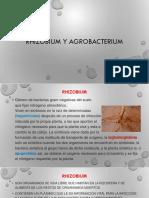 7-Rhizobium y Agrobacterium