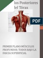 Músculos Posteriores del Tórax