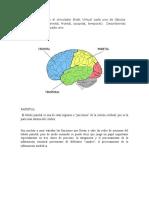 Identifique en el simulador Biotk Virtual cada uno de lóbulos cerebrales