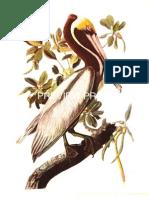 Audubon Prints for Sale
