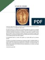 arquitectura del cerebro
