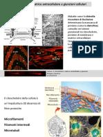 Citoscheletro, matrice extracellulare e giunzioni cellulari