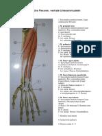 Oberflächliche flexoren-1_23